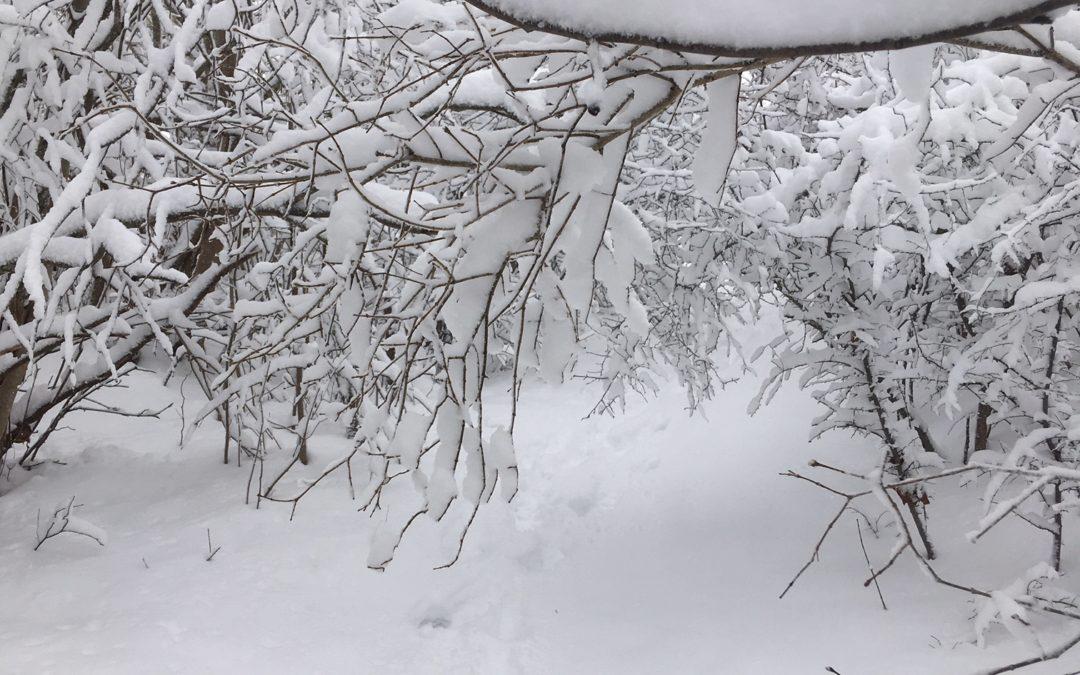Skydda växterna från tung snö