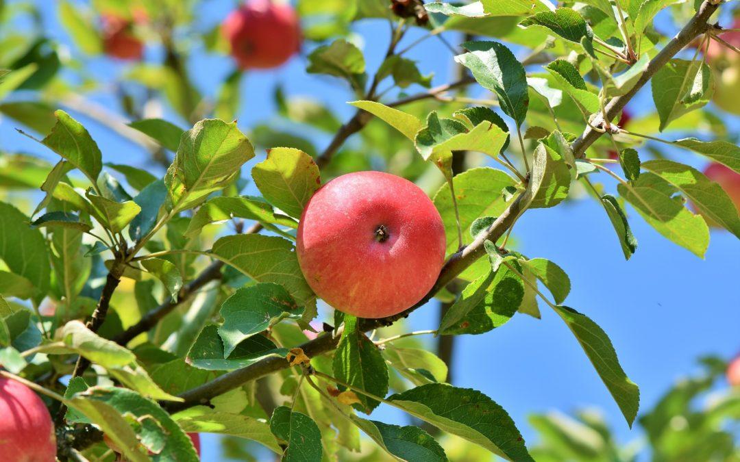 Beskärning av fruktträd under vårvintern