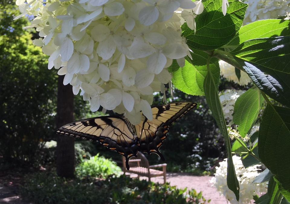 Växter för humlor, bin och fjärilar
